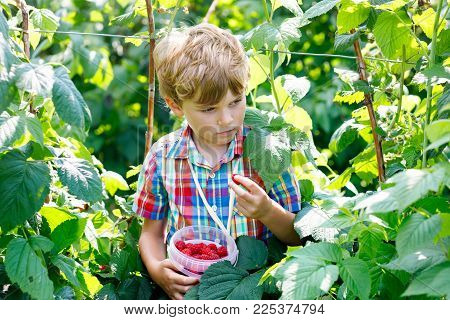 Cute little kid picking and eating fresh berries on raspberry farm. Child pick healthy food on organic farm. Preschooler gardening. Family having summer fun