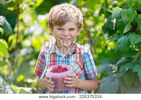 Cute little kid picking fresh berries on raspberry field. Child pick healthy food on organic farm. Little toddler boy play outdoors in fruit orchard. Preschooler gardening. Family having summer fun