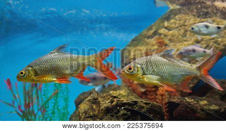 Two Roach Fish With Red Fins Float In The Water Against The Back