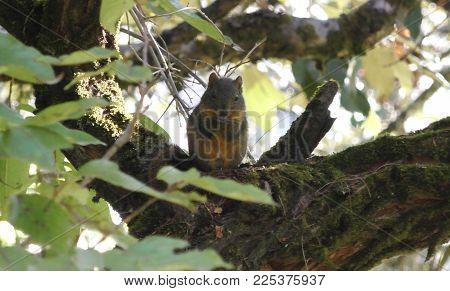 Orange-bellied Himalayan squirrel (Dremomys lokriah), Dhunche, Langtang, Nepal