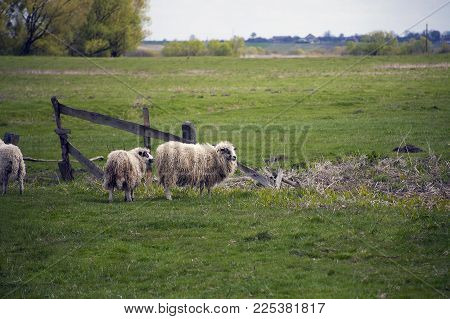 Grazing White Sheep With Black Spots On Their Eyes. Herd Of Sheep On Green Meadow