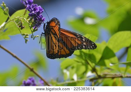 Stunning Orange Viceroy Butterfly on A Spring Day