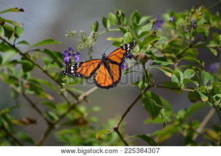 Beautiful Orange Viceroy Butterfly with Spread Out Wings