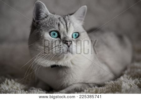 Cat Scottish Fold, Chinchilla Coloring With Blue Eyes