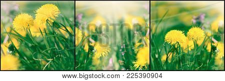 Dandelion Flower In Meadow, Beautiful Flowering Dandelion Flowers In Spring - Springtime