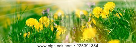 Spring Flower - Dandelion Flower, Dandelion Flowers Lit By Morning Sun Rays (sunlight) In Meadow