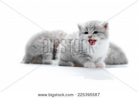 Small Funny Fluffy Grey Kitten Meowing While Posing For Photoshoot With Other Adorable Little Kittie