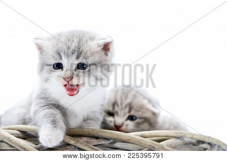 Talking Cat. Small Grey Fluffy Kitten Meowing While Sitting In White Wicker Wreath With Other Adorab