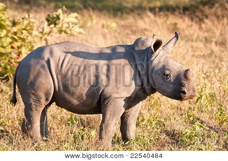 Rhino calf in nature green grass alone looking poster