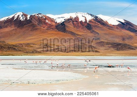 Pink Flamingos On The Celeste Lagoon And Volcano View On Plateau Altiplano, Bolivia