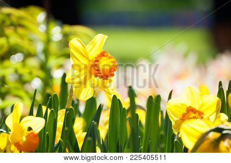 Blooming Yellow Narcissus Close Up. Beauriful Spring Nature