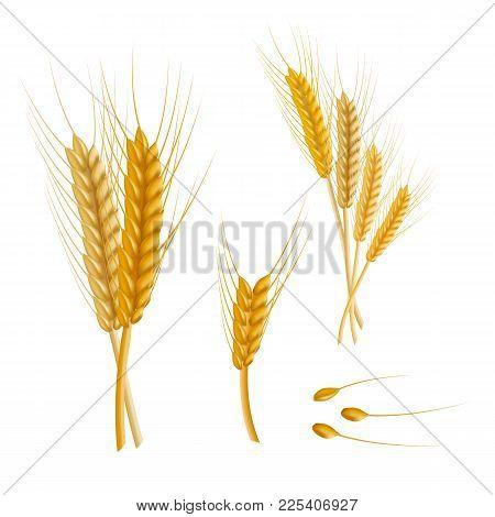 Realistic Detailed Color Wheat Ear Agriculture Farm Fresh Healthy Tasty Organic Bread Food Isolated