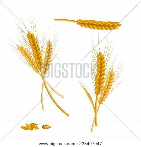 Realistic Detailed Color Wheat Ear Agriculture Farm Fresh Healthy Tasty Organic Bread Food. Vector I