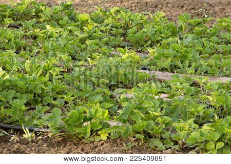 Field Of Strawberries Plant. Organic Plant. Drip Irrigation On A Farm In The Village. Healthy Luxury