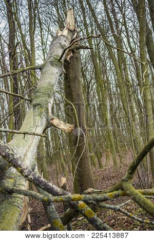Broken Tree In Forest. Natural Natural Disaster.