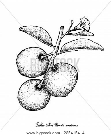 Fresh Fruits, Illustration Of Hand Drawn Sketch Fresh Tallow Plum Or Ximenia Americana Fruits Isolat