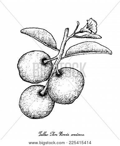 Fresh Fruits, Illustration Of Hand Drawn Sketch Fresh Tallow Plum Or Ximenia Americana Fruits Isolat