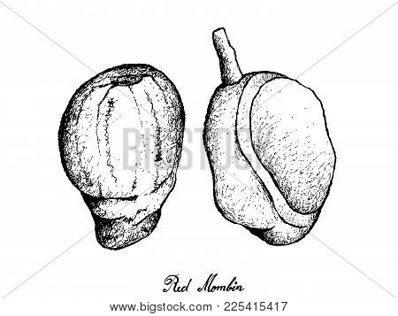 Tropical Fruit, Illustration Of Hand Drawn Sketch Of Fresh Red Mombin Or Spondias Surpurea Fruits Is
