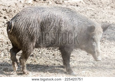 Wild Boar In The Zoo . In The Park In Nature