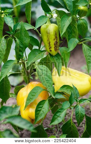 Close-up Of Ripening Peppers In The Organic Pepper Plantation.fresh Yellow And Red Sweet Bell Pepper