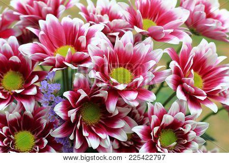 Chrysantemums Flowers. Beautiful Chrysantemums. Chrysantemums In Autumn. Nice Colors.