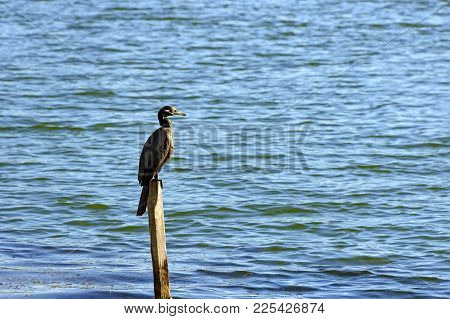 Aquatic Bird Perched On Piece Of Wood Drying Its Plumage Under The Sun On The Waters Of A Lake