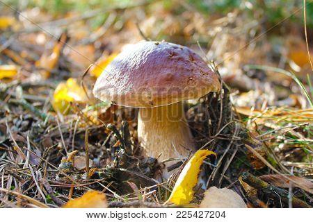 Boletus Edulis, Penny Bun, Porcini Mushroom, Cep Tasty Mushroom
