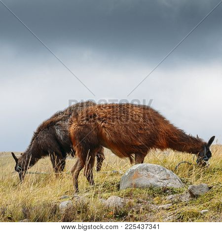 Llama Is A Domesticated South American Camelid, Widely Used As A Meat And Pack Animal By Andean Cult