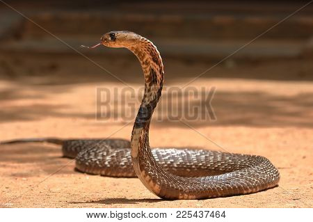 The South Asian cobra in Sri Lanka