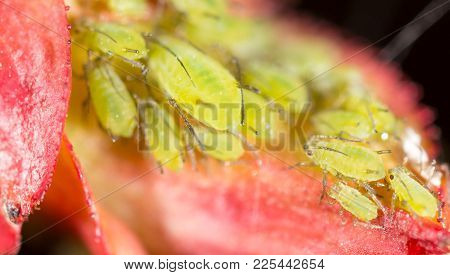 Green Aphids On A Red Leaf In The Nature. Macro .