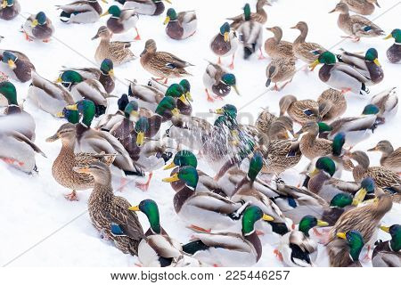 A Flock Of Ducks In The Snow. A Flock Of Colorful Ducks On The White Snow. The Wind Is Blowing, The