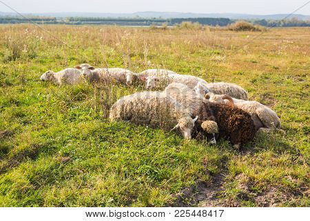 Agriculture, Sheep Graze In A Meadow, A Shepherd Grazes Sheep