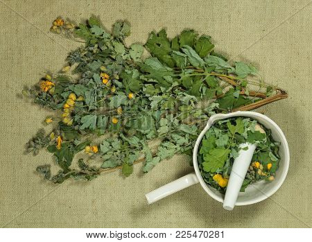 Celandine. Dry Herbs For Use In Alternative Medicine, Phytotherapy, Spa, Herbal Cosmetics. Preparing