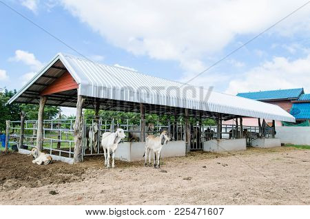 Cows In The Cowshed, Livestock In Thailand