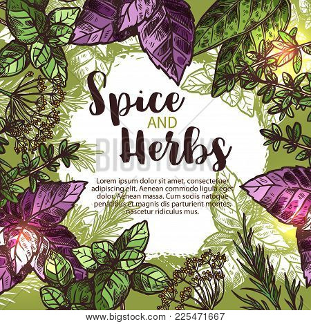 Spice And Herb Sketch Poster With Fresh Plant, Seasoning And Condiment. Green And Red Basil, Rosemar