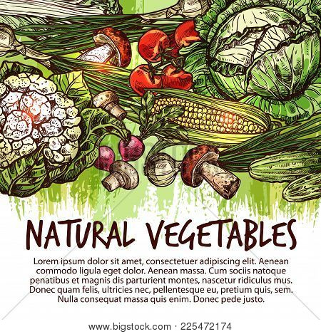 Vegetable Poster Of Natural Fresh Veggies And Mushroom Sketch. Tomato, Cabbage, Onion And Radish, Gr