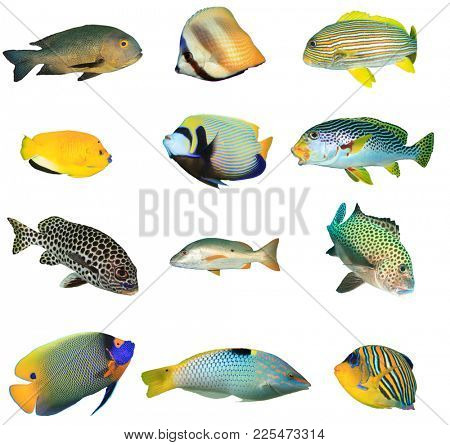 Collection fish cutouts. Tropical reef fish combo isolated on white background. Asia Pacific reef fish