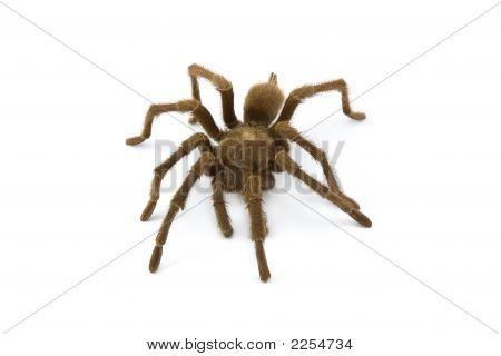 Tarantula, Genus Aphonopelma