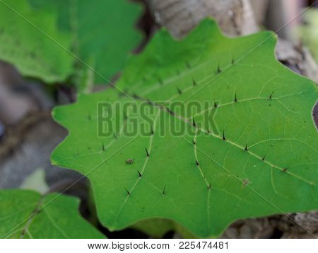 Sharp Thron Or Prickle On Solanum Leaf In Close Up With Shallow Depth Of Field Used In Nature And Ou