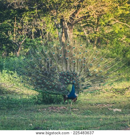 Male Peacock Of Green Background, Feathers Blue Bird. Indian Wild Peacock (pavo Cristatus).