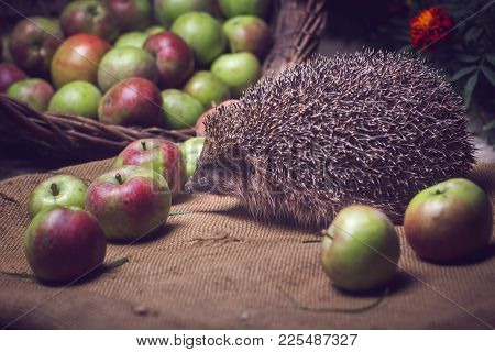 hedgehog apples basket sniffs wicker basket red green poster
