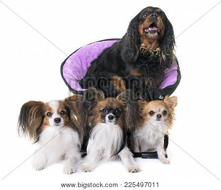 Cavalier King Charles, Papillon And Chihuahua In Front Of White Background