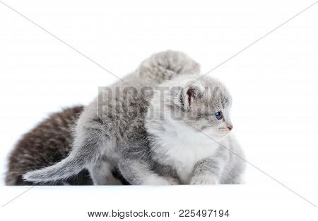 Grey Blue-eyed Little Fluffy Kittens Playing And Jumping On One Another, One Looking To The Side. Wh