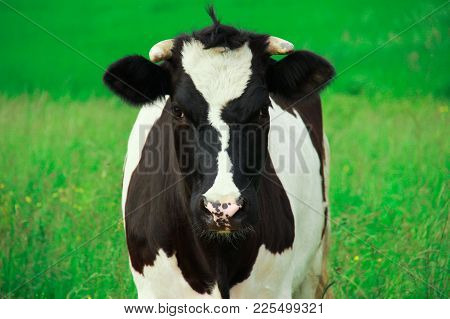 Black And White Cow On A Green Meadow Looks Straight Into Full-face