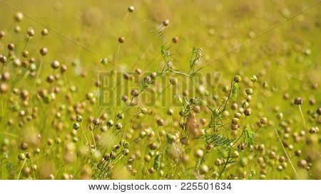 Maturing Flax In A Large Field, Almost Ready To Harvest. Flax Field In Summer. Field Of Golden Flax