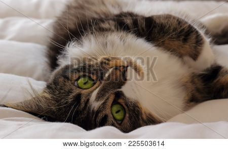 A Photography Of Maine Coon Cat With Green Eyes With Piercing Eyes That Charm You Lying On A White D