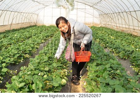 Shanghai China - Jan 15, 2018: Visitor Pick Strawberry With Red Basket In The Greenhouse Strawberry