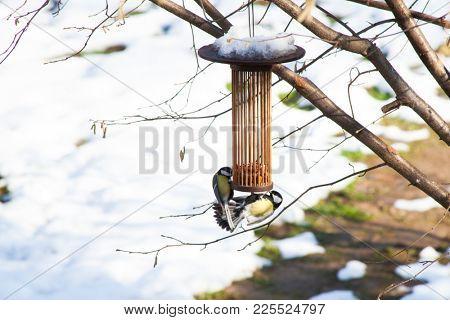 great tits on bird feeders on tree winter bird feeding