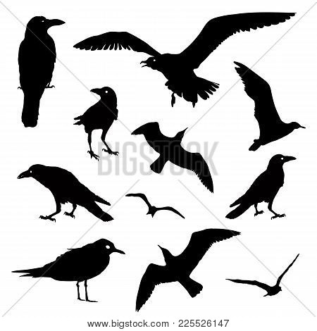 Vector Collection Of Bird Silhouettes. Rook, Raven, Seagull Isolated On White. Flying And Staying.