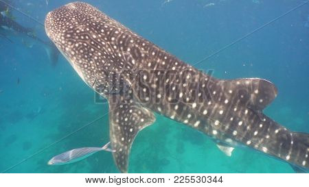 Whale Shark Swimming In The Clear Blue Water. Rhincodon Typus. Whale Shark Underwater. Philippines,
